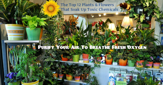 12 houseplants flowers that soak up toxic chemicals for Oxygen plants for home