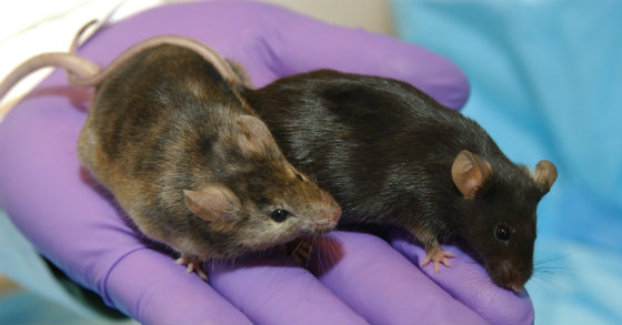 This is What Happens When Mice Are Given Probiotics