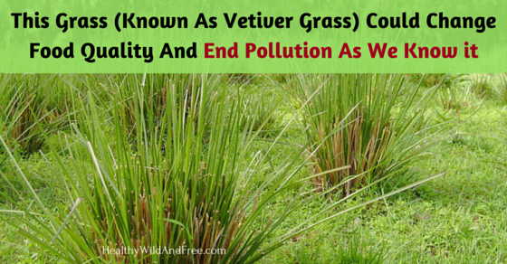 This Grass (Known As Vetiver Grass) Could Change Food Quality And End Pollution As We Know it