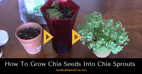 How To Grow Chia Sprouts From Chia Seeds At Home