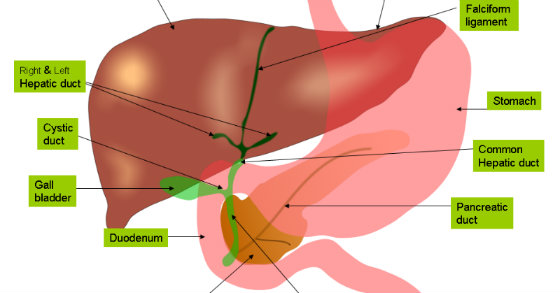 does your liver do it's job properly?, Cephalic Vein
